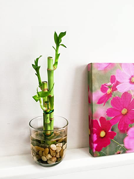 Easy Plants 1 Lucky Bamboo In Cylinder Round Glass Vase With Pebbles