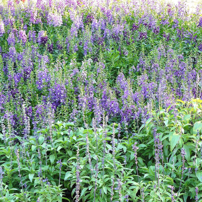 Angelonia Flower Garden Seeds - Serena Mix - 100 Seeds - Pelleted - Annual Flower Gardening - Angelonia angustifolia