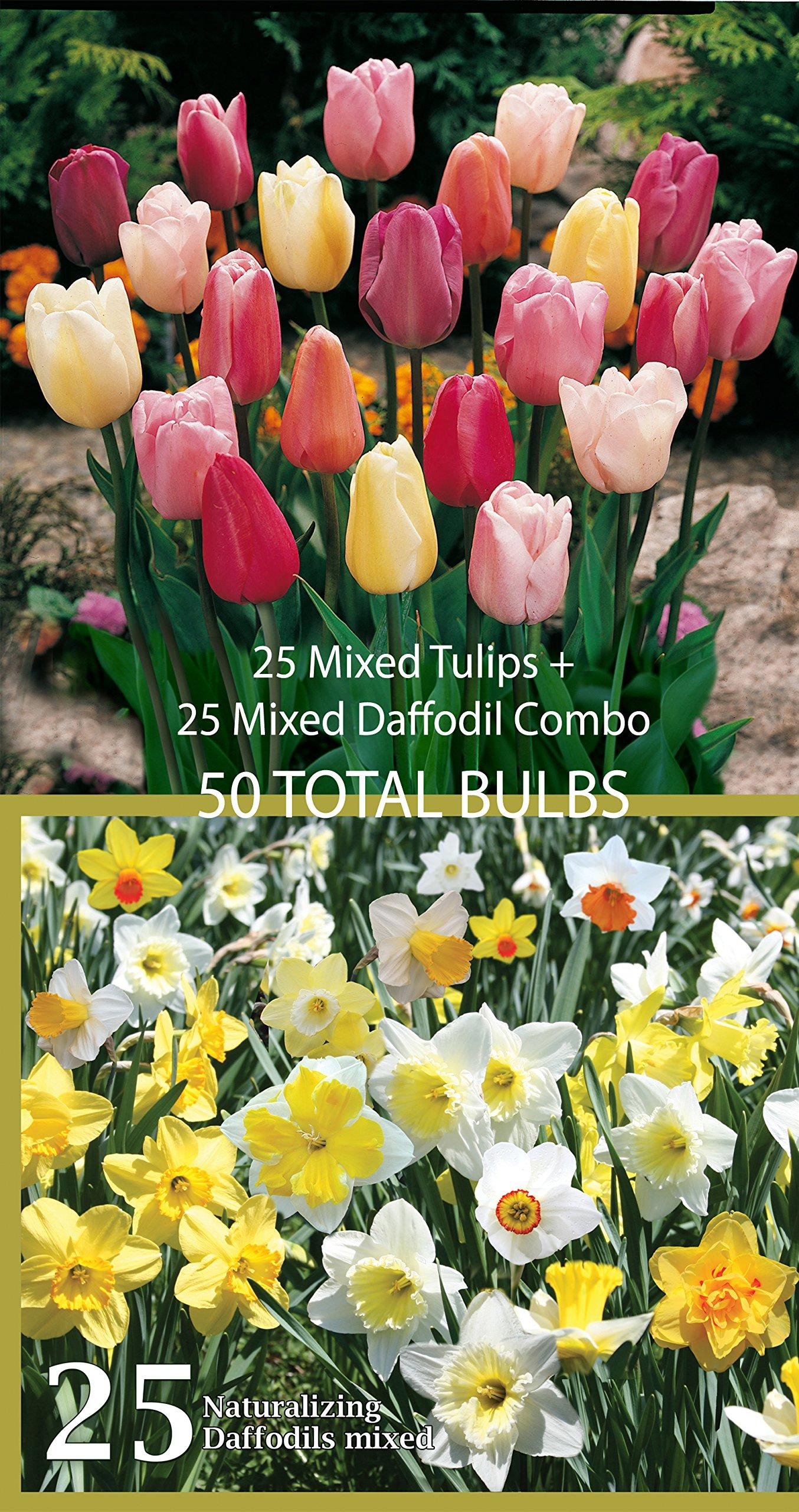 Mixed Triumph Tulips (25 Bulbs) + Mixed Daffodils (25 Bulbs) Collection of Amazon 2015 Top Selling Bulbs - 50 TOTAL BULBS by Willard & May