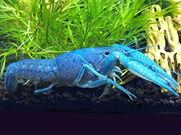 1 Male/Female Pair of Electric Blue Crayfish/Freshwater Lobsters (2