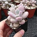 Moonstones Pachyphytum Oviferum Pink Moonstones