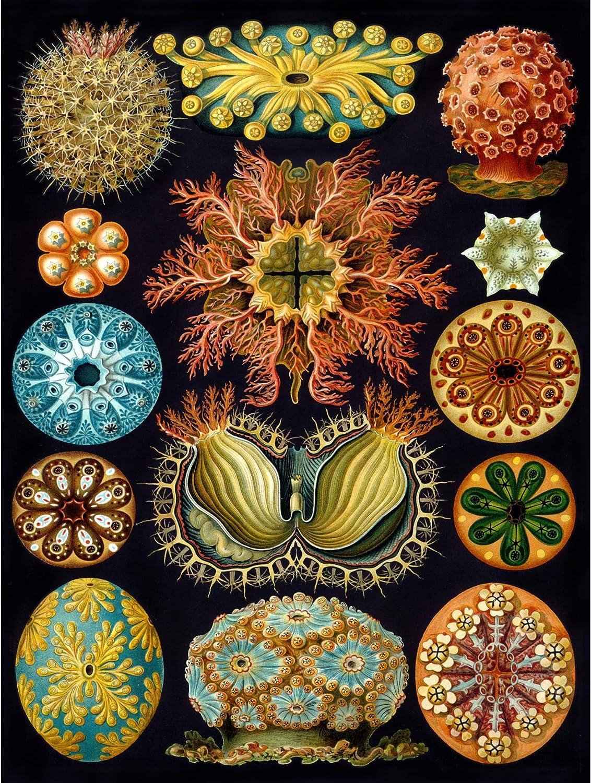Bumblebeaver Nature Art Haeckel Ernst Plankton SEA Biology Germany Vintage Poster Print 12x16 inch 30x40cm 877PY