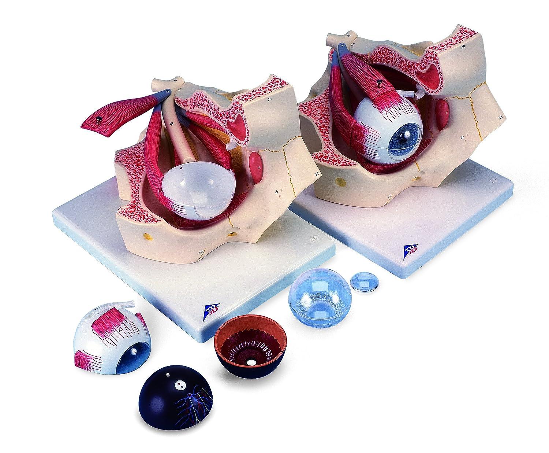 視覚器(眼球)と眼窩,3倍大7分解モデル   B007NCV3FE