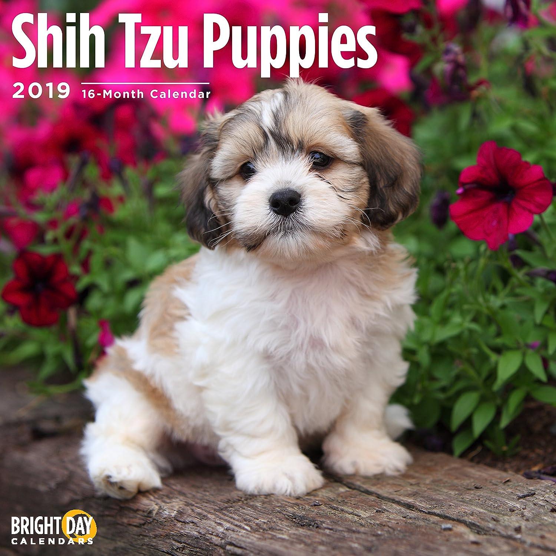 Amazoncom Shih Tzu Puppies 2019 16 Month Wall Calendar 12 X 12
