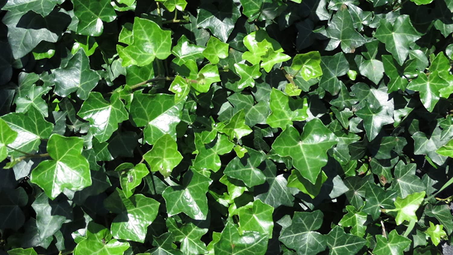 Thorndale Ivy Hedera helix Groundcover - 100 Bare Root Plants