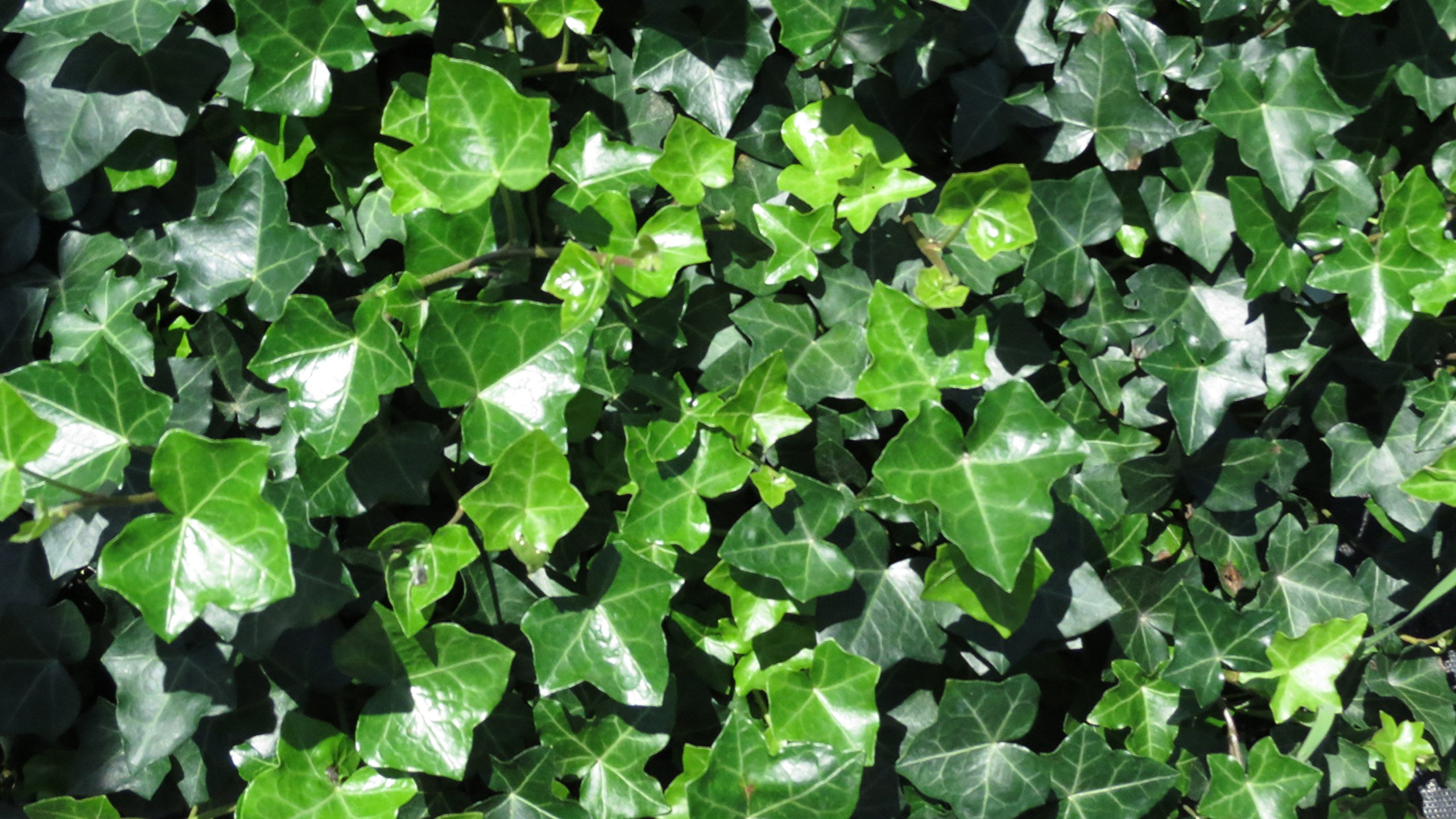 Thorndale Hardy English Ivy Groundcover - 300 Bare Root Plants