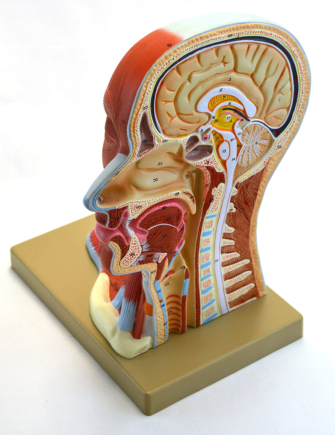 Eisco Labs Human Head Anatomical Model Approx 12 Height Approx 12 Height Life Size Median Section