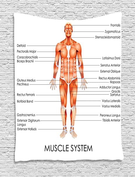 Human Anatomy Tapestry By Ambesonne Muscle System Diagram Of Man