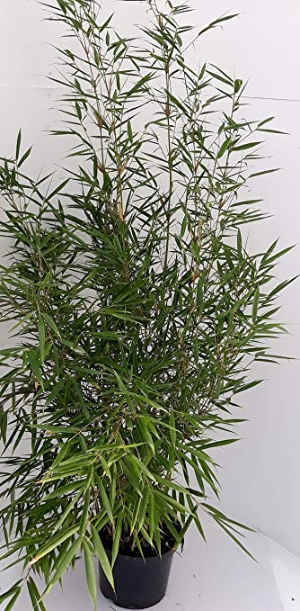 2 X Bambus Hohe 110 120 Cm Fargesia Campbell Winterhart Und