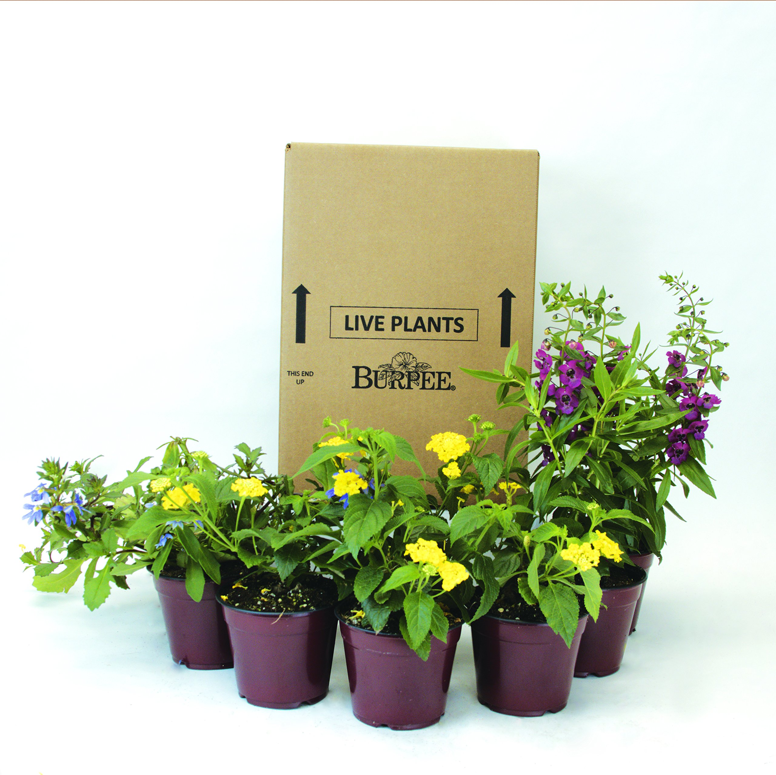 Burpee Combo 'Daydream' - Create Instant Colorful Container Gardens with Eight 4 in. pots by Burpee (Image #1)