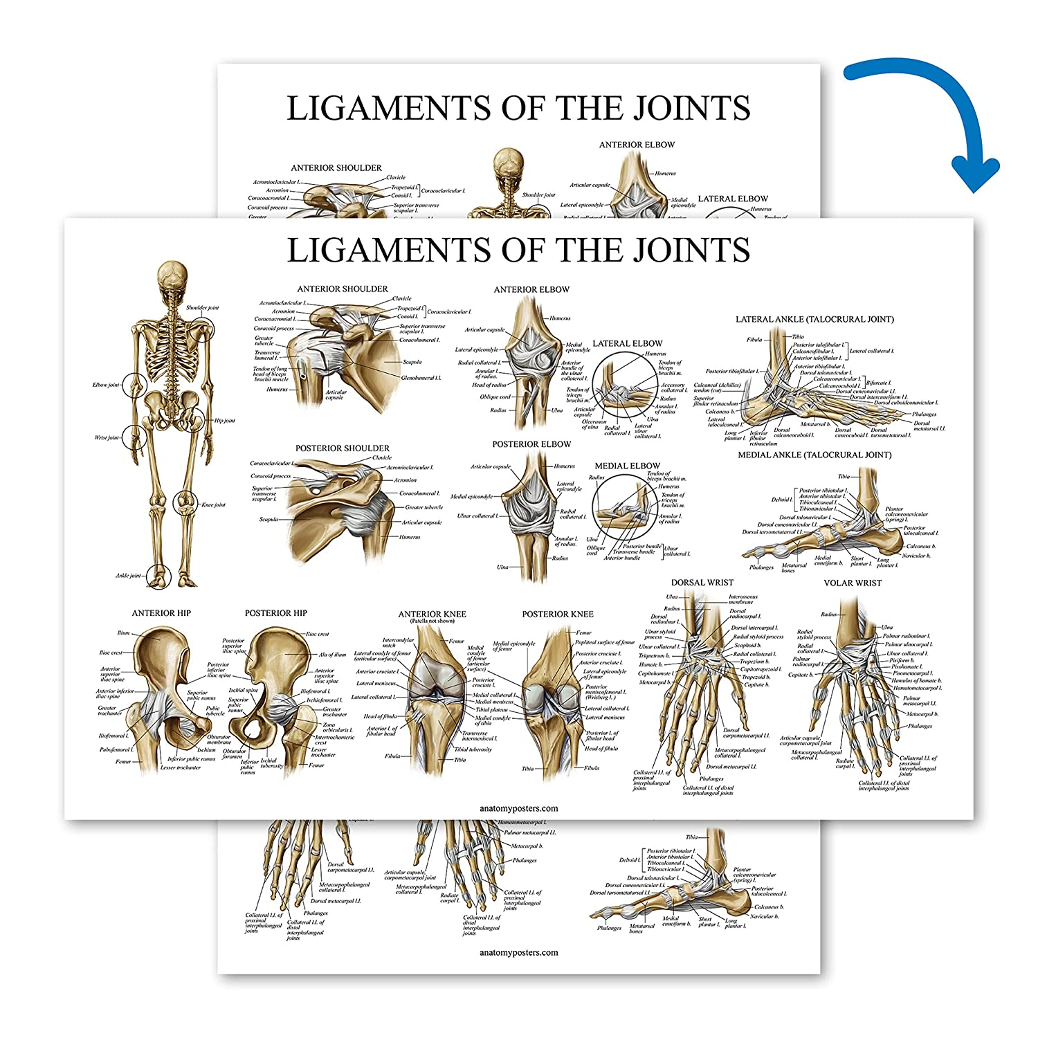 Laminated Ligaments of The Joints Anatomical Poster 18 x 27 Ligament Anatomy Chart