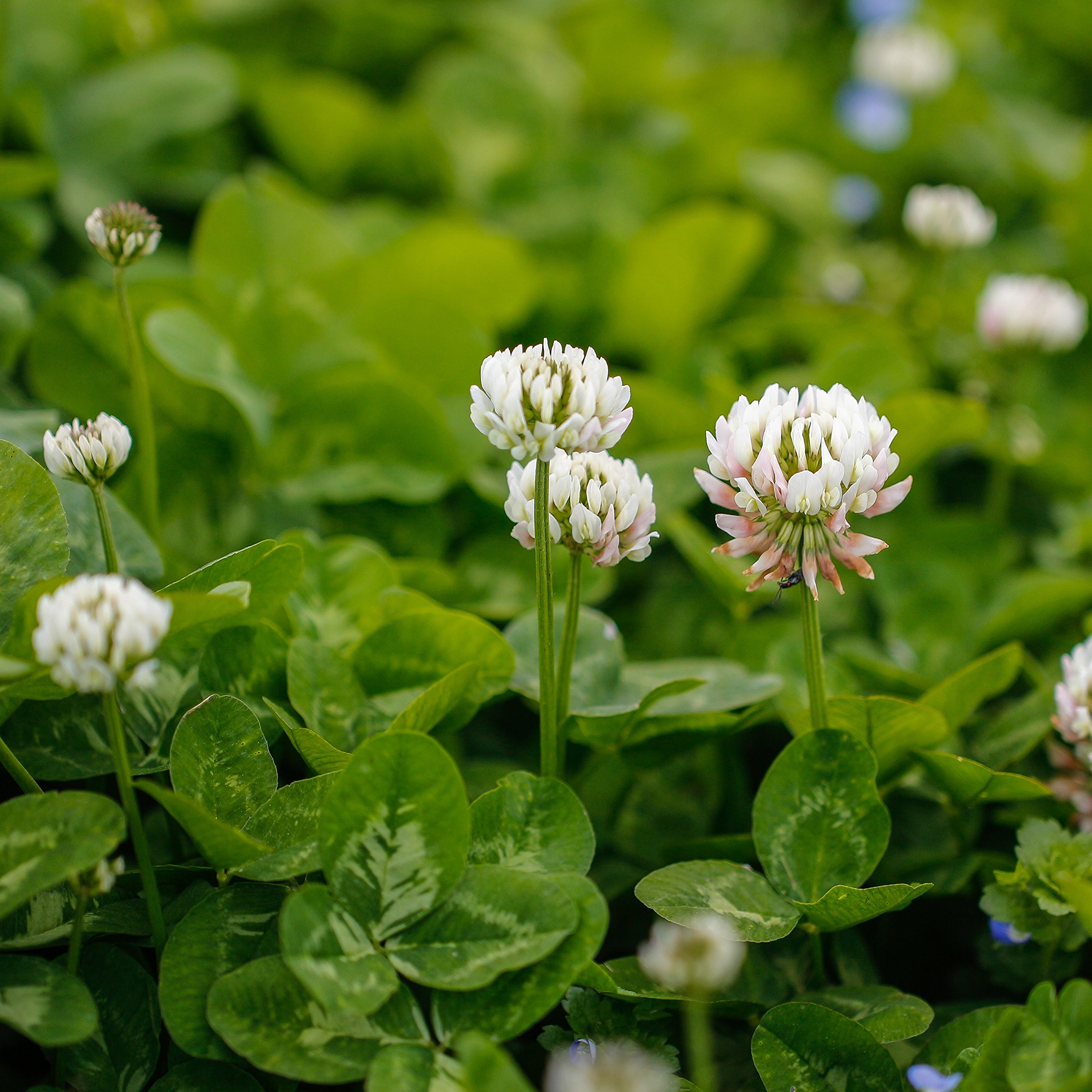 Outsidepride White Dutch Clover Seed: Nitro-Coated, Inoculated - 10 LBS by Outsidepride