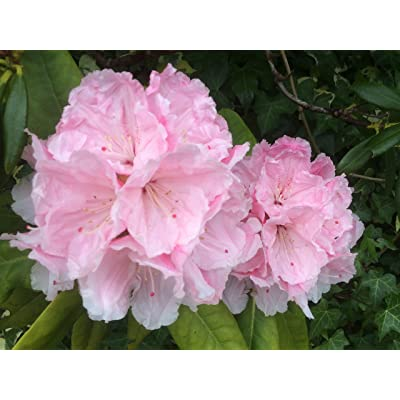 20 Seeds Rhododendron fictola, Rhododendron Seeds : Garden & Outdoor