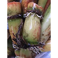 Perennial Sugarcane Root Stock Organic 4 Germinated Healthy Tropical Plants Green...