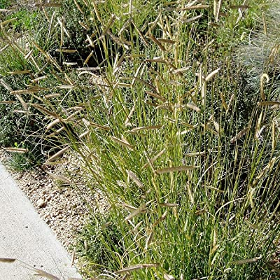 Shopvise Blue Grama Grass Bouteloua Gracilis 20 Seeds : Garden & Outdoor