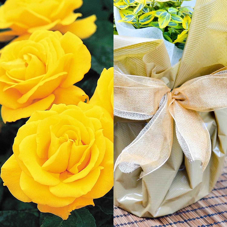 Golden Wedding Rose - 50th Anniversary Rose Bush - Gift Wrapped Golden Anniversary Rose Willows Living Gifts