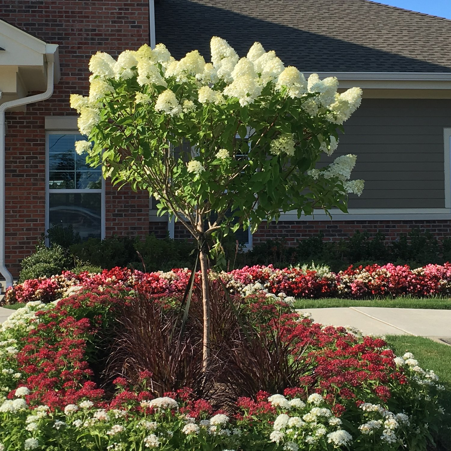 Limelight Hydrangea Tree by Brighter Blooms (Image #3)