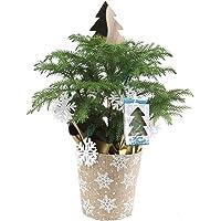 Costa Farms Norfolk Island Pine Live Plants