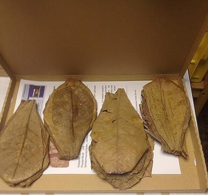 Seemandelbaumblätter ca.30 Stück XL (60 Gramm/ca. 20cm) +++BLITZVERSAND+++ Seemandellaub Catappa Leaves (Terminalia Catappa I