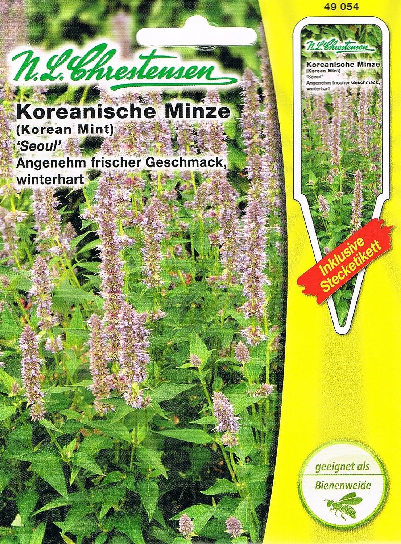 Menthe cor/éenne /« Seoul /» agr/éablement fra/îche /« Agastache rugosa /». avec /étiquettes dembo/îtes