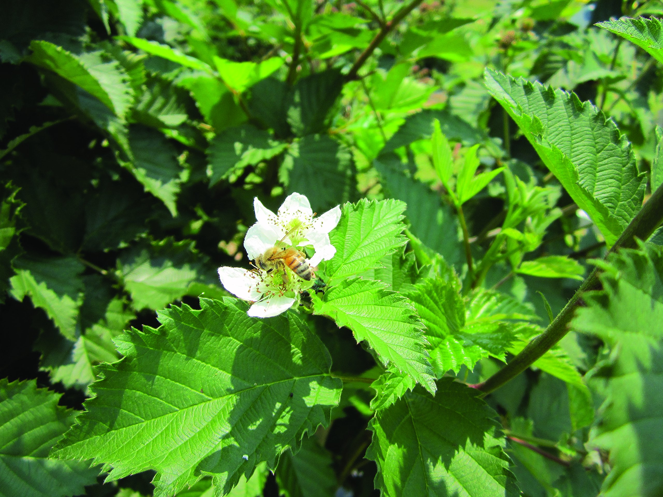 Burpee Thornless Blackberry Prime-Ark 'Freedom' shipped as FIVE BARE ROOT PLANTS by Burpee (Image #2)