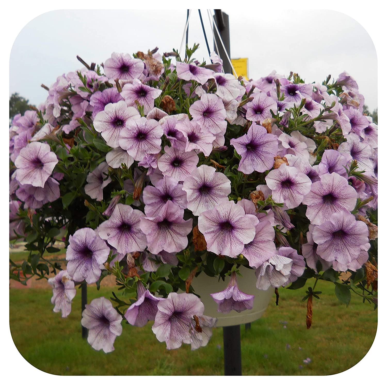 Petunia EasyWave Plum Vein Basket Plug Plants x 5 Trailing Pink Red White