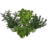 """Micky's Minis 2"""" Mini-Herbs, Mini, Green"""