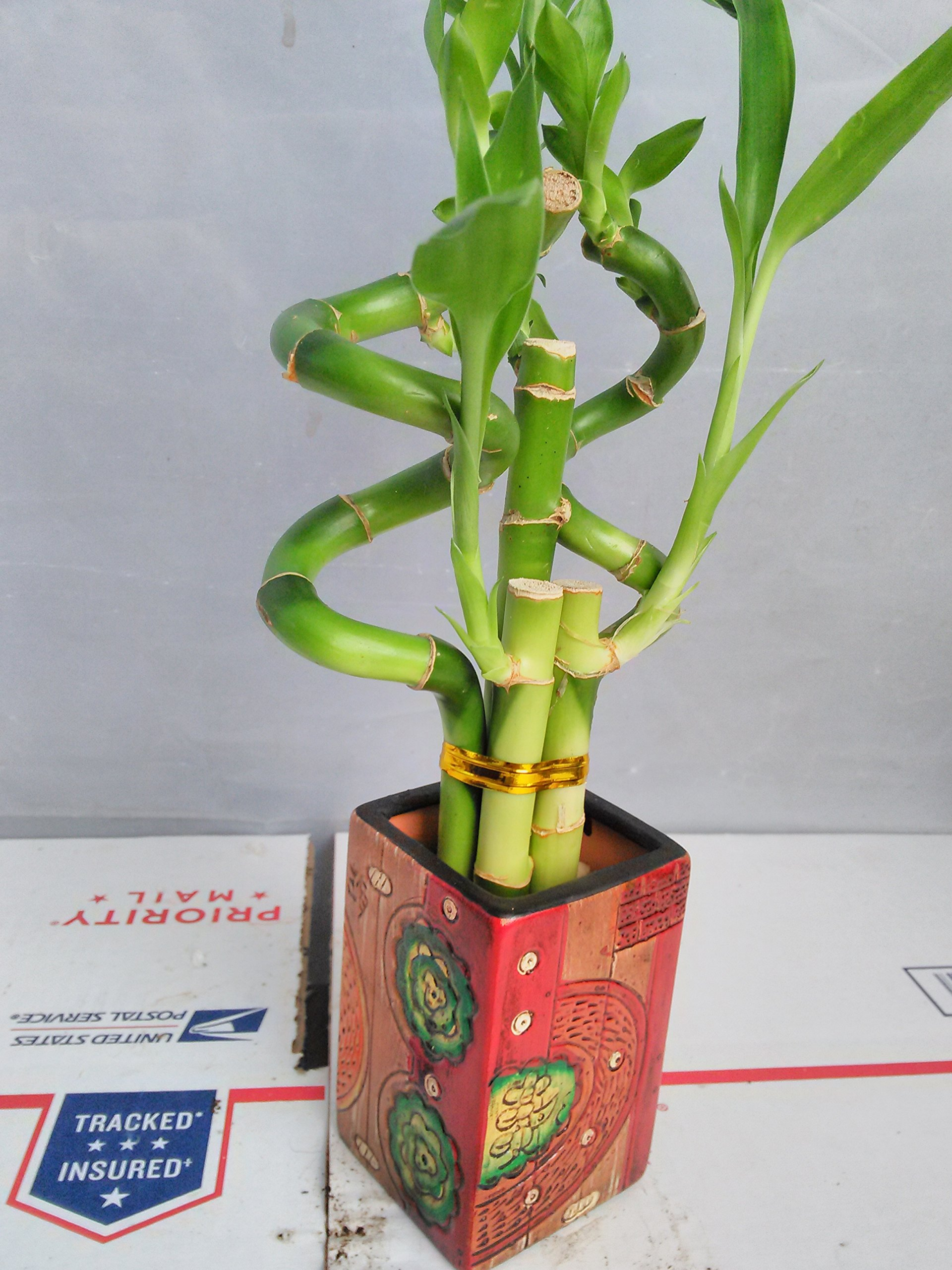 Jmbamboo - Live 5 Style of Lucky Bamboo Plant Arrangement w/ 4''ceramic Vase by JM BAMBOO (Image #2)