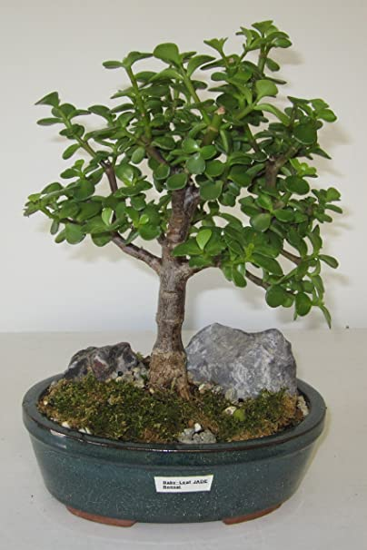 Amazon Com Bonsai Gardens Highest Quality Medium Baby Leaf Jade Bonsai Tree Garden Outdoor