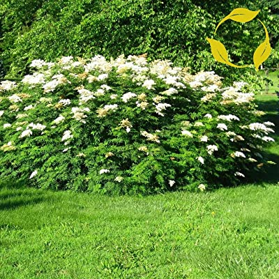 Ural FALSESPIREA Sorbaria Sorbifolia 100 Seeds : Garden & Outdoor