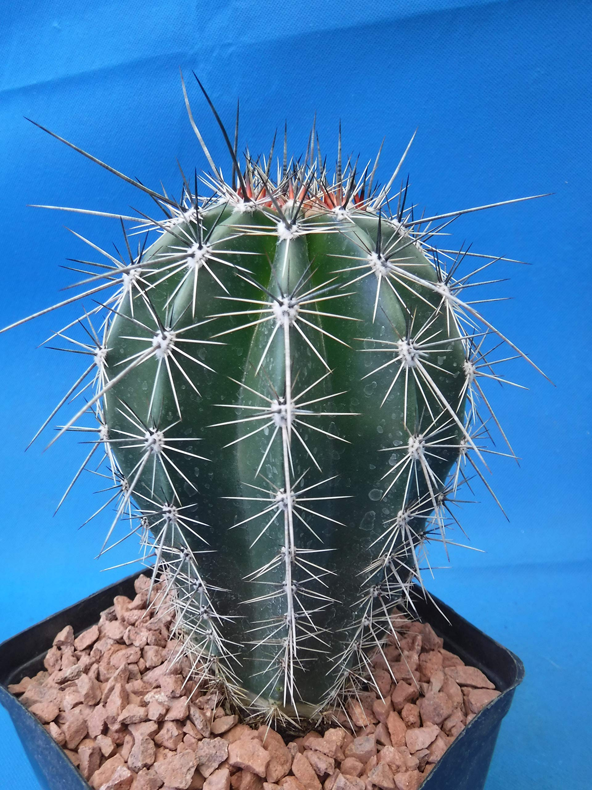 Saguaro Cactus 6'' to 10'' Tall 8 to 10 Years Old (Shipped Bare Root!) by Tucson Tools