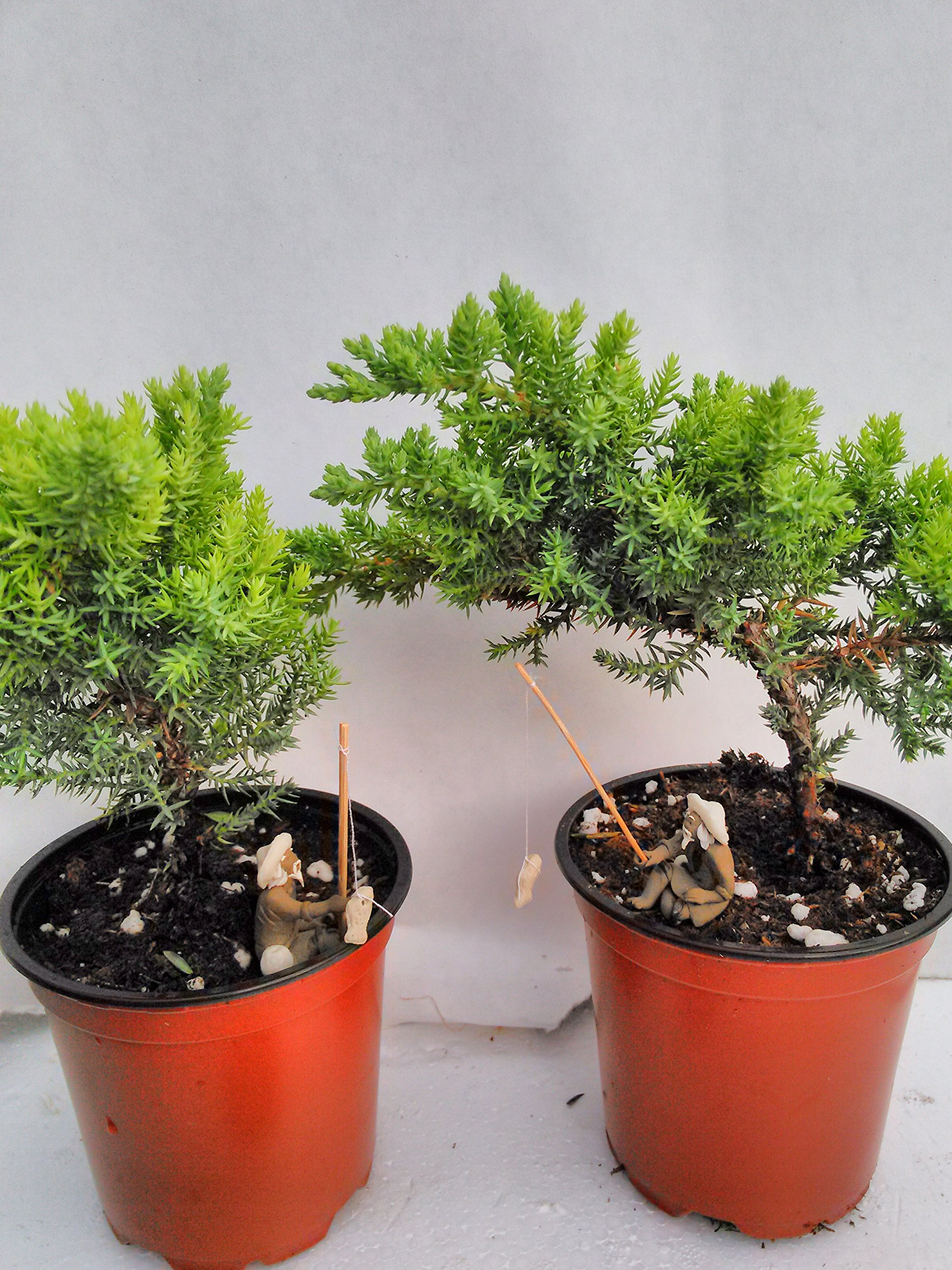 Jmbamboo - Two Tree Bonsai Juniper Garden 4'' Pot with Fishman by JM BAMBOO