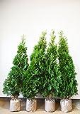 [送料無料] 自信の自家生産 コニファー グリーンコーン 約120cm 4本セット 生垣 目隠し にオススメ! 植木 苗木