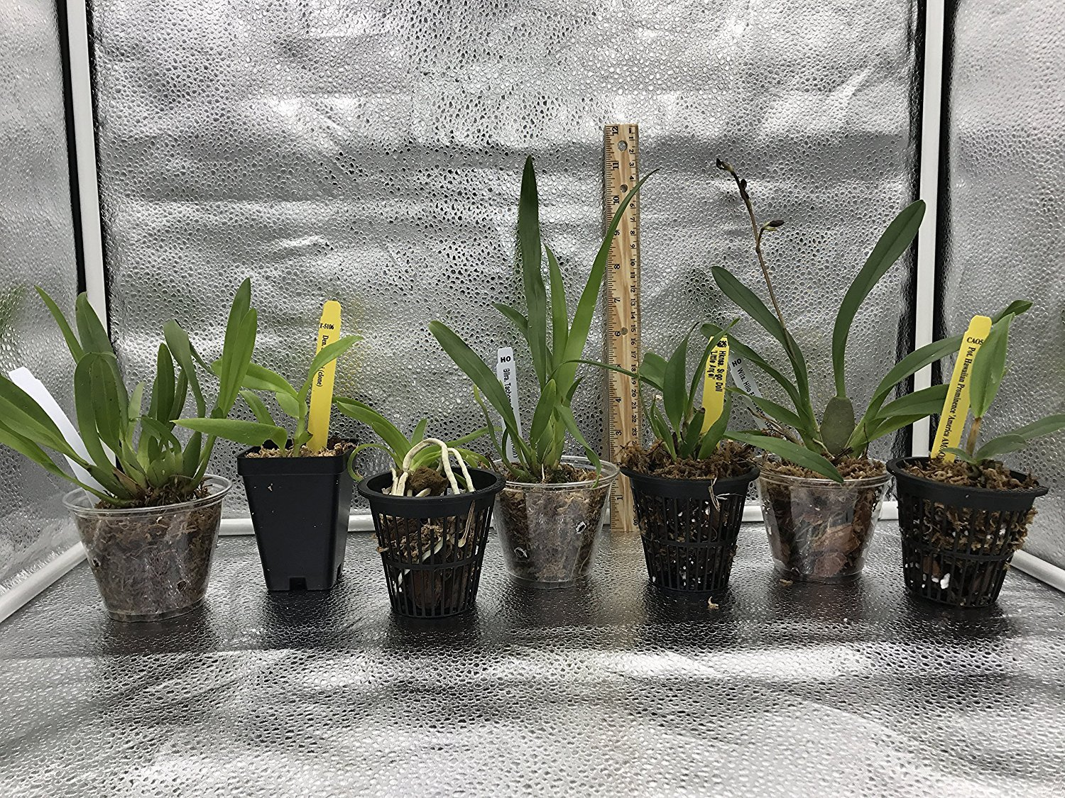 4 Live Orchid Plants to Choose (Dendrobiums) by Angel's Special (Image #3)