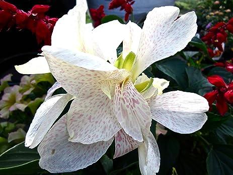 Amazon.com : Canna Lily Seeds - Tropical White, Canna Flower - 5 ...