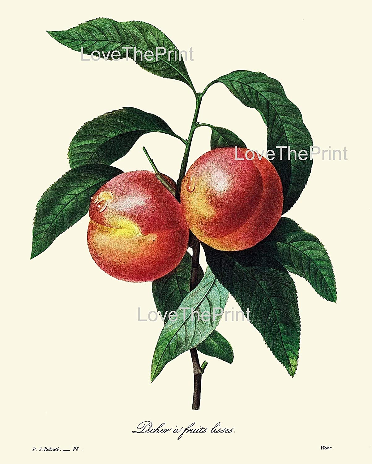 Peach Botanical Print IH901 Beautiful Antique Yellow Large Tree Fruit Kitchen Dining Room Home Room Wall Art Decor Illustration to Frame IH