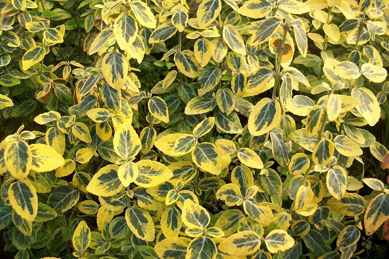 100 Stk. Euonymus fortunei 'Emerald Gaiety' - (Weißbunte Kriechspindel 'Emerald Gaiety')- Topfware 15-20 cm