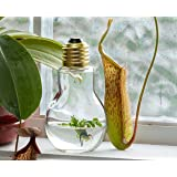 "Venus Flytrap, 4"" Tall Bulb, Fly Trap Carnivorous Plant, a FUN & Live Gift!"