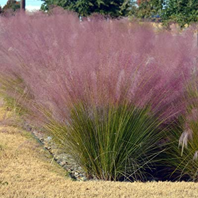 Outsidepride Pink Muhly Ornamental Grass Plant Seeds - 100 Seeds: Garden & Outdoor