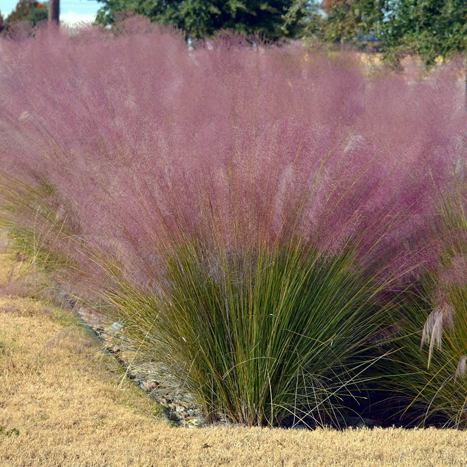 Amazon Com Outsidepride Pink Muhly Ornamental Grass Plant Seeds