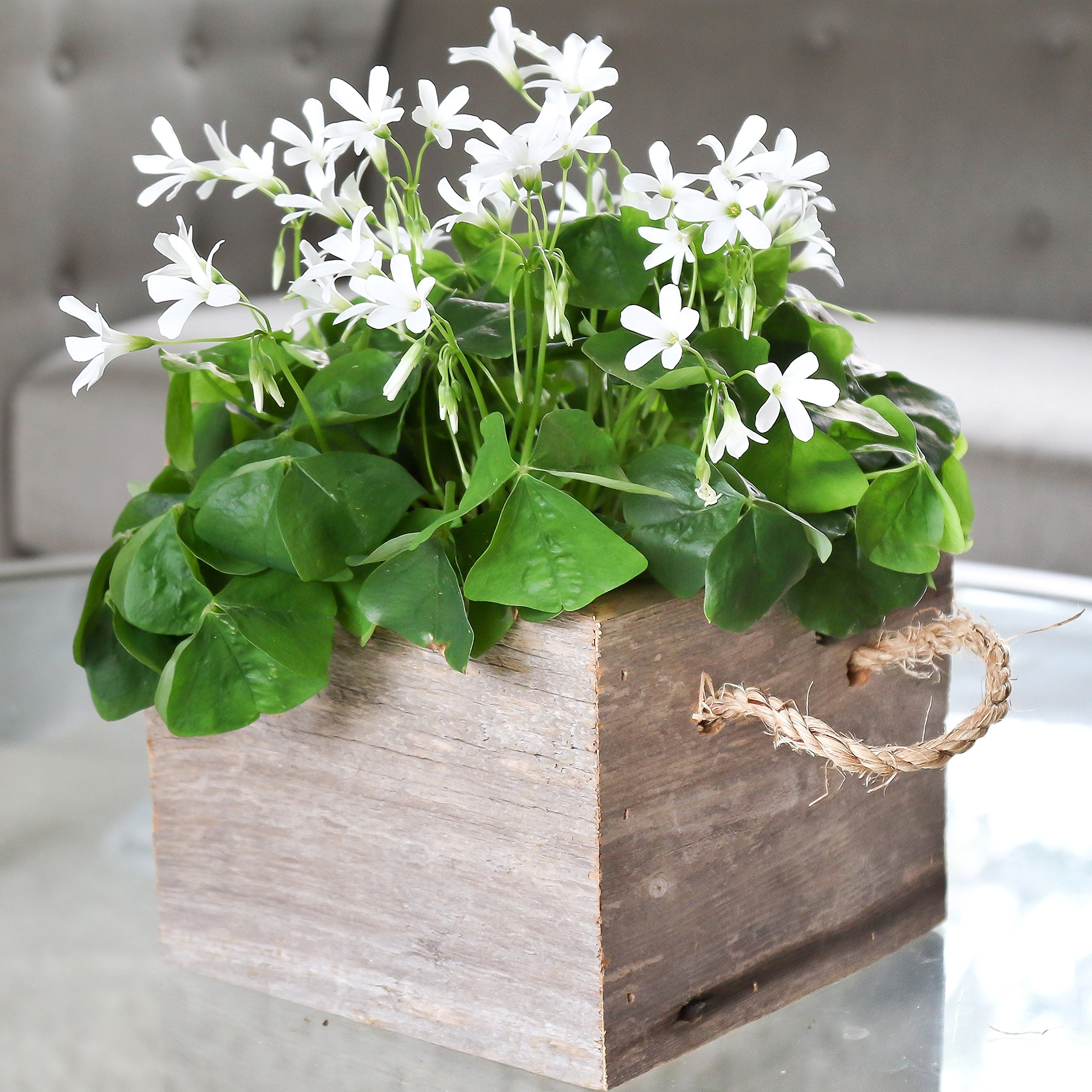 Easy to Grow Oxalis Regnelli Bulbs Gift Kit Pre-Planted in Reclaimed Wood Square Container| Blooms in 6-8 Weeks Grows Anywhere Indoors by Easy to Grow
