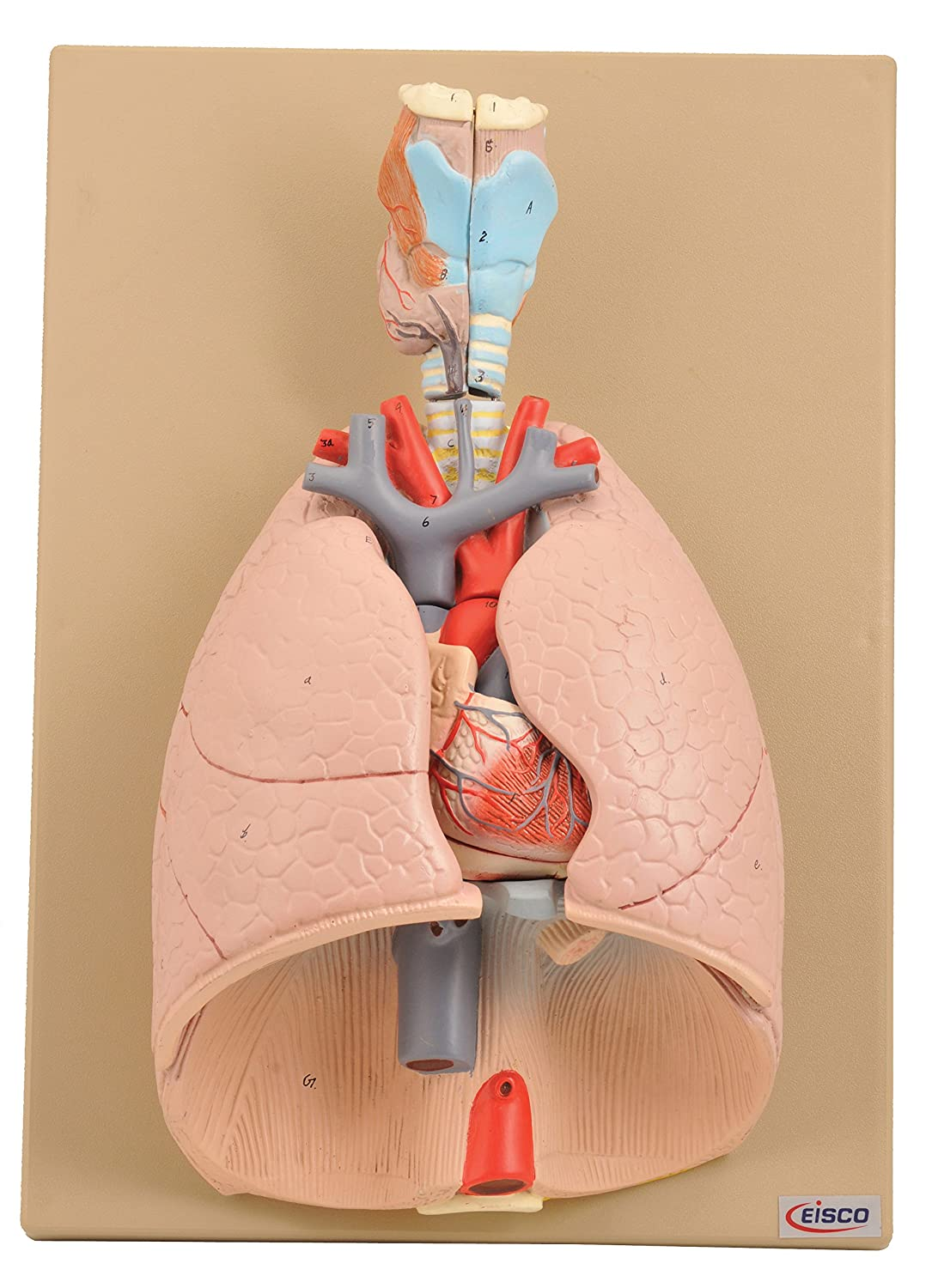 Eisco Labs Advanced Heart And Lung Model 7 Parts Human Anatomical