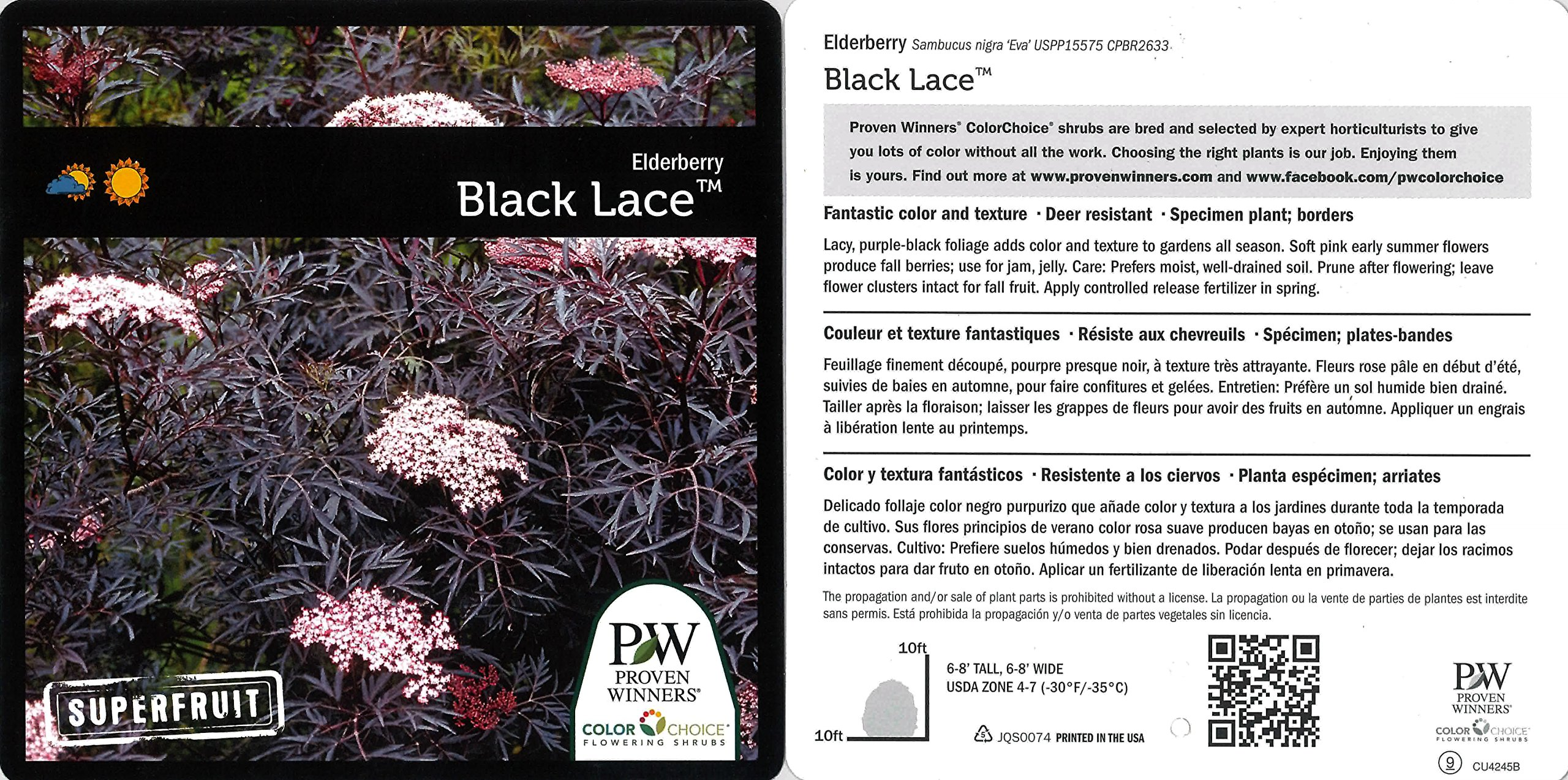 Black Lace Elderberry (Sambucus) Live Shrub, Pink Flowers, 4.5 in. Quart by Proven Winners (Image #9)