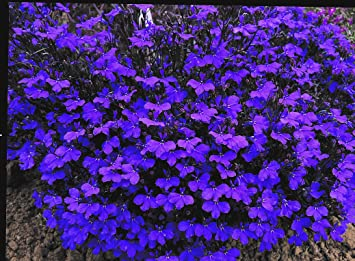Lobelia Bush Dark Blue Crystal Palace 24 Bedding Plants British