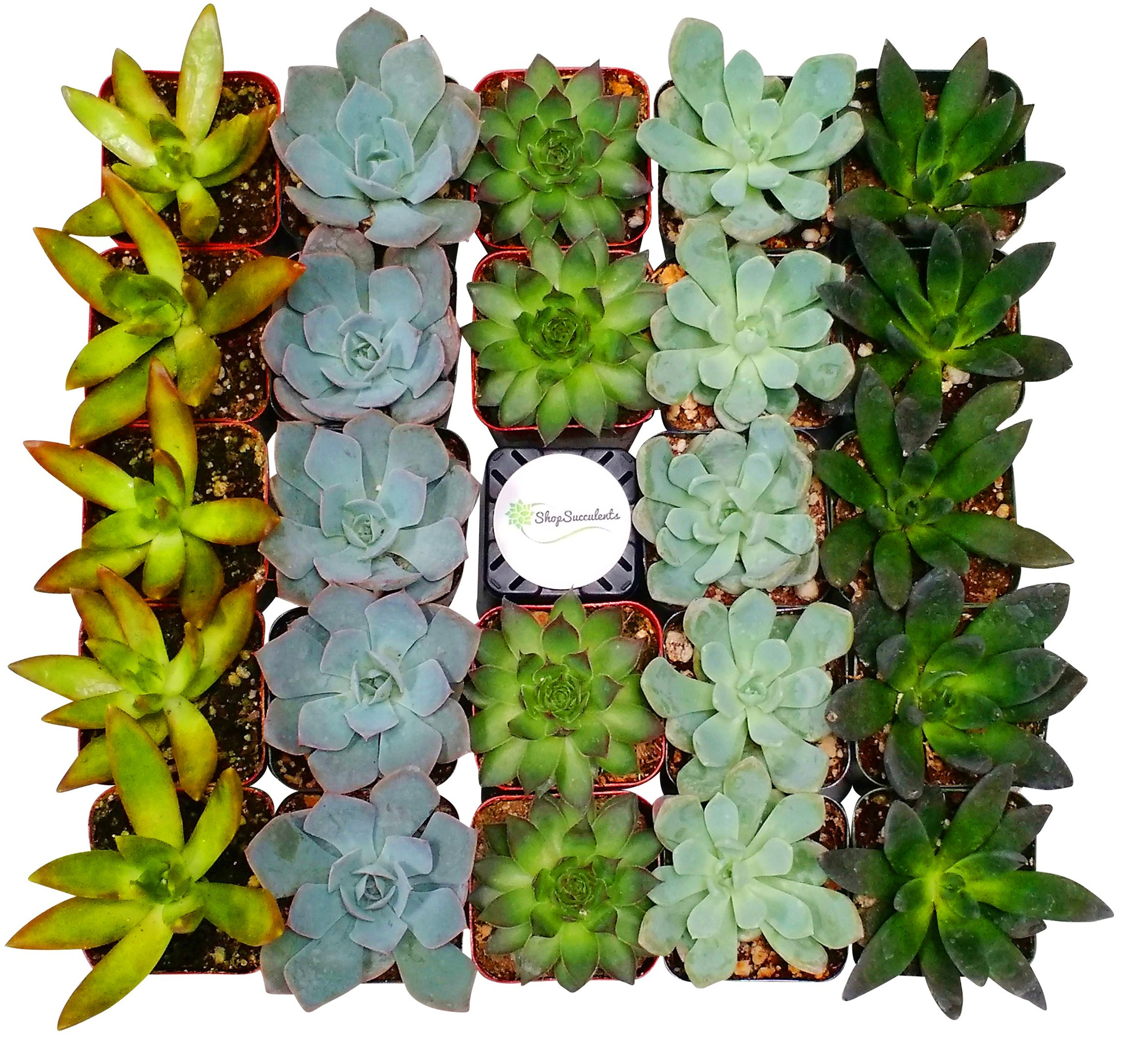 Shop Succulents Assorted Succulent (Collection of 100)