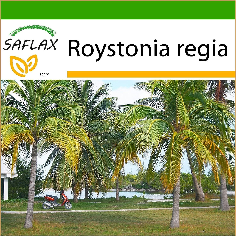 SAFLAX - Palmera real cubana - 8 semillas - Con sustrato - Roystonia regia