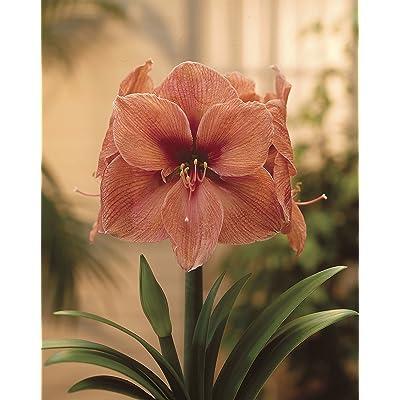 Bloomsz Amaryllis Rilona Plant, 26/28cm : Garden & Outdoor