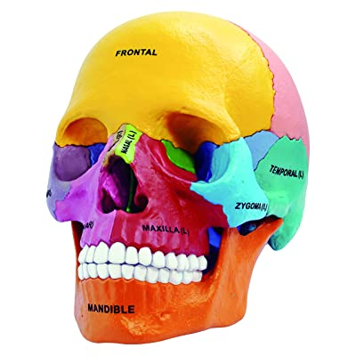 Didactic Exploded Skull Anatomy Model - Build your Own!: Toys & Games