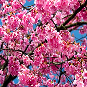 Amazon Com Sakura Flower Live Wallpaper Free Appstore For Android