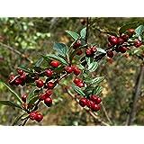 Fruchtmispel-Strauch, Zwergmispel, Cotoneaster franchetii, weiß blühend, 1 Pflanze im 2 Liter Topf - zu dem Artikel bekommen Sie gratis ein Paar Handschuhe für die Gartenarbeit dazu